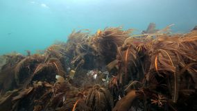 Seaweed underwater on seabed of Barents Sea. Nature in clean transparent cold water. Wildlife on background of blue marine in Arctic ocean stock footage