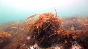 Seaweed underwater on seabed of Barents Sea. Nature in clean transparent cold water. Wildlife on background of blue marine in Arctic ocean stock video footage
