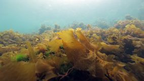 Seaweed underwater on seabed of Barents Sea.