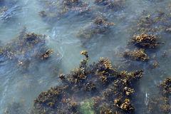 Seaweed vegetation Stock Photos