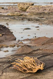 Seaweed on volcanic rocks Royalty Free Stock Photo