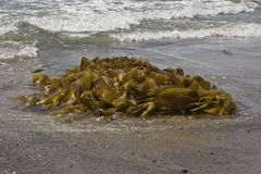 Seaweed washed upon beach. Seaweed washed upon Pacific Ocean beach Stock Photos
