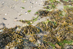 Seaweed washed up on the beach from close Royalty Free Stock Image