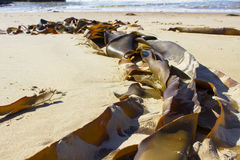 Seaweed washed up on sunny beach Royalty Free Stock Photo