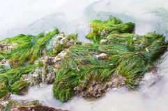 Seaweed in the Pacific Ocean Stock Photo