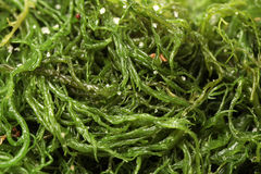 Seaweed Royalty Free Stock Image