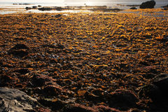 Seaweed in the zone of low tide on the shore of the sea of Okhotsk in the Magadan region Royalty Free Stock Image