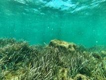Seaweedin与蓝色的前景在背景中 库存图片