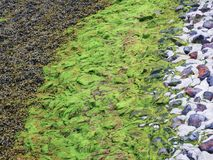 Seaweeds as a pattern at the coastal line of North Sea Royalty Free Stock Photos