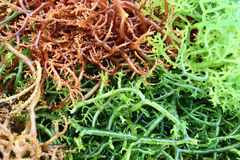 The seaweeds Royalty Free Stock Photography