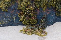 Seaweeds on rock Stock Photography