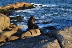Seawolf σε Cabo Polonio Στοκ φωτογραφία με δικαίωμα ελεύθερης χρήσης