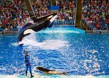SeaWorld圣安东尼奥虎鲸 库存图片