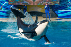 SeaWorld - Orkid the Killer Whale royalty free stock images