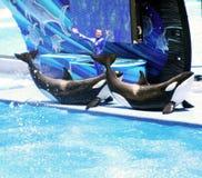 SeaWorld Orlando Shamu Erscheinen Stockbilder