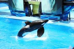 SeaWorld Orlando Shamu Erscheinen Lizenzfreies Stockbild