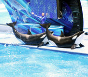 SeaWorld Orlando Shamu Show Stock Images
