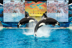 SeaWorld San Diego - Orcas Kasatka and Orkid front flip Royalty Free Stock Photos