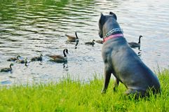 Sebago lake ny cane corso italian mastiff and ducks. For one year old cane corso mastiff to see two families of ducks interesting event , they even do not care royalty free stock photography