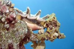 sebaspindel för conch s Royaltyfria Foton