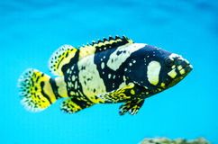 Sebastes chrysomelas. The black-and-yellow rockfish Stock Image