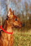 Sebastien mini-pincher. Portrait of the cute puppy called Sebastien stock photo