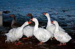 Sebastopol Geese at Twilight Stock Image