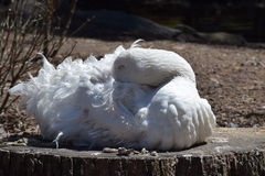 Sebastopol Goose (Anser anser) Stock Photos