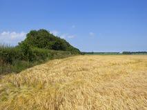 A sebe madura e os campos maduros da cevada em um verão ajardinam Foto de Stock