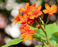 sebestena λουλουδιών cordia Στοκ εικόνα με δικαίωμα ελεύθερης χρήσης
