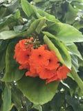 Sebestena do Cordia ou flores do Boraginaceae Fotografia de Stock