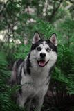 Sebirian Husky in the fern and forest/ stock images