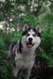 Sebirian-Schlittenhund im Farn und im Wald stockbilder