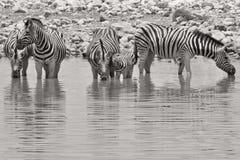 Sebra - afrikansk djurlivbakgrund - band och linjer i svartvitt Royaltyfri Fotografi