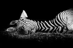 Sebra/afrikansk sebra som sover på fält Royaltyfri Fotografi