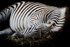 Sebra/afrikansk sebra som sover på fält Royaltyfria Bilder