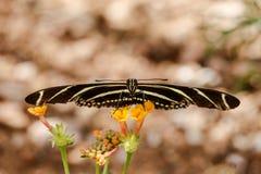 Sebra butterfy Longwing, belägen mitt emot kamera som balanseras på små gula blommor Royaltyfri Fotografi