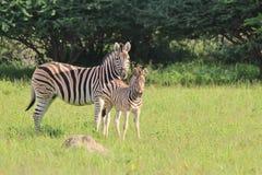 Sebra - djurliv behandla som ett barn och mammor - moderlig förälskelse Royaltyfria Bilder