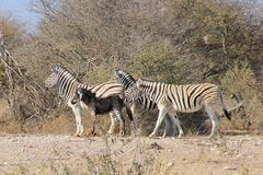 Sebra - djurliv från Afrika - mycket sällsynt svart sebra som skrattas på. Royaltyfri Fotografi