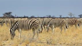 Sebra - djurlivbakgrund från Afrika - härlig flock av band Royaltyfri Bild