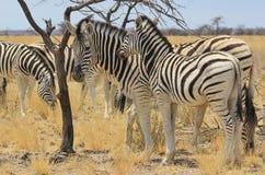 Sebra - djurlivbakgrund från Afrika - härlig randig familjunder Arkivbild