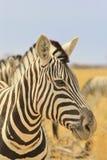 Sebra - djurlivbakgrund från Afrika - storartade band av härliga linjer Arkivfoton