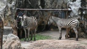 Sebra- eller Equusquaggaen på den Dusit zoo eller Khao buller Wana parkerar i Bangkok, Thailand stock video