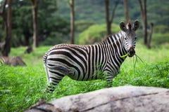 Sebra Equus Royaltyfri Fotografi
