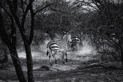 Sebra för Burchell ` s i Namibia arkivfoto