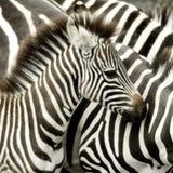 sebra för flockkenya mara masai Royaltyfria Bilder