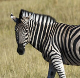 sebra för flod för quagga för botswana equuskhwai royaltyfri fotografi