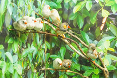 Sebra Finch Birds Royaltyfria Bilder