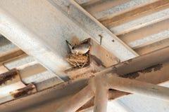 Sebra Finch Nest Fotografering för Bildbyråer