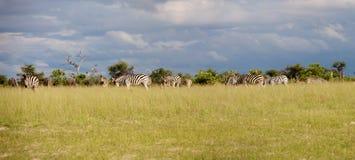 Sebra i Botswana Royaltyfri Fotografi